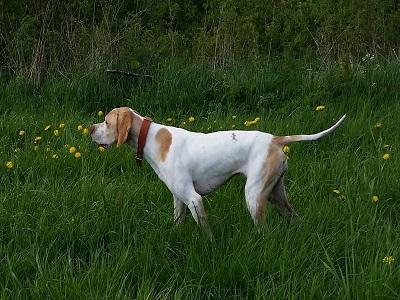 Årets Lavlandshund Nr 1 Barentsviddas Vicky